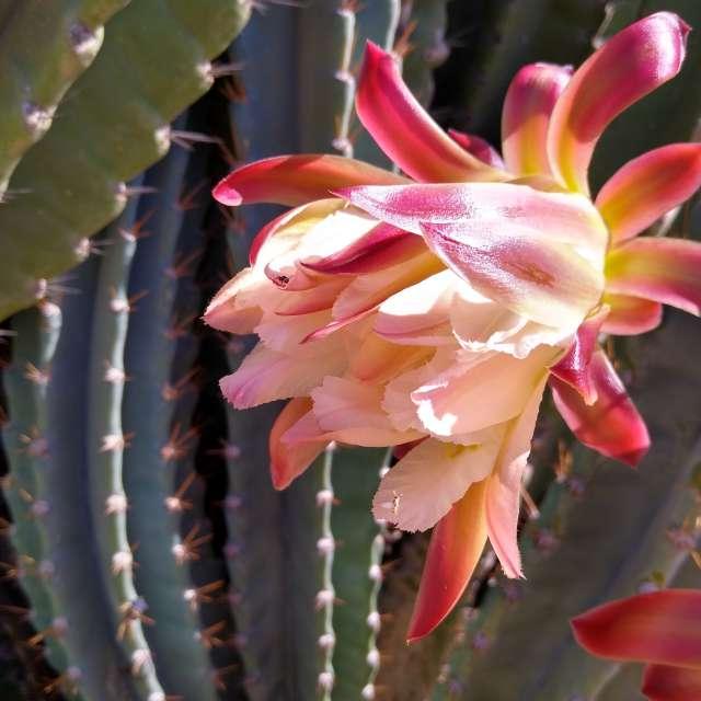 Organ Cactus Flower