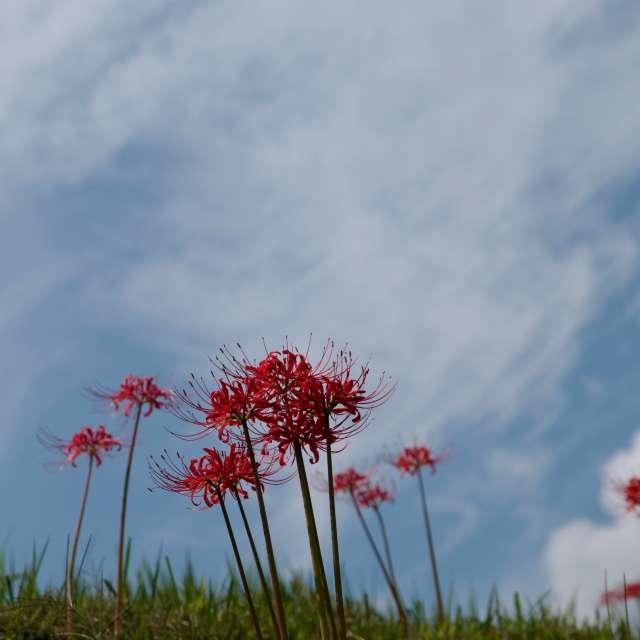 奈良県御所市葛城古道の彼岸花 青空に真っ赤な彼岸花が咲く