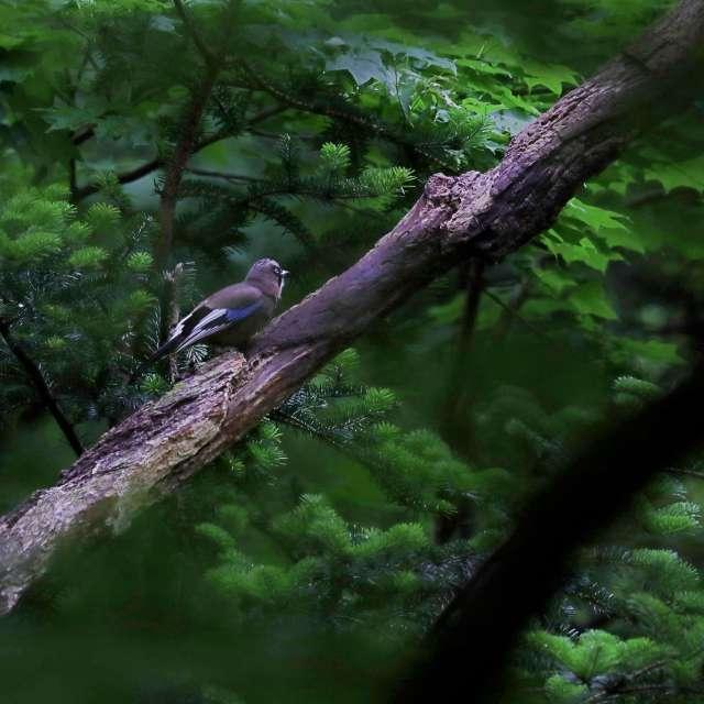 森の中のカケス