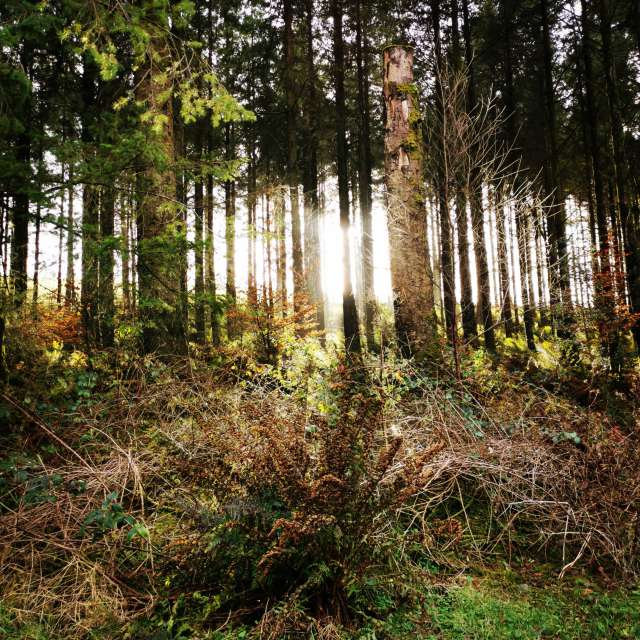 Winter Sun Through The Trees