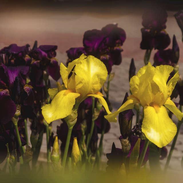 Flower-de-luce.