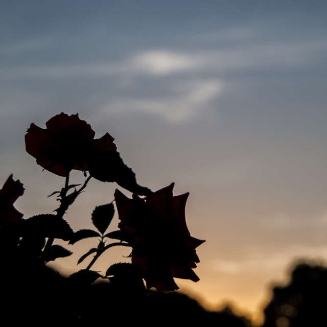 夕暮れのバラ