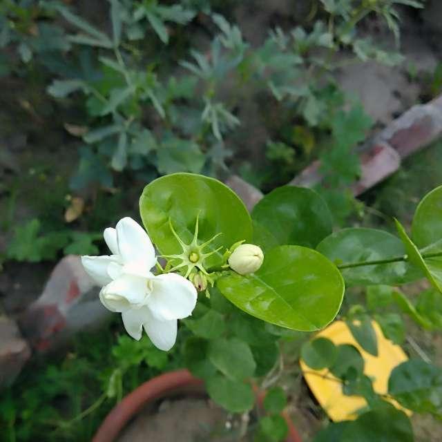 Arabian jasmine in the morning