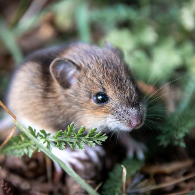 Cute little forest mouse macro