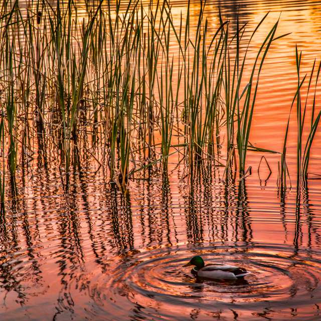Sunset, Cattails and Duck, BC