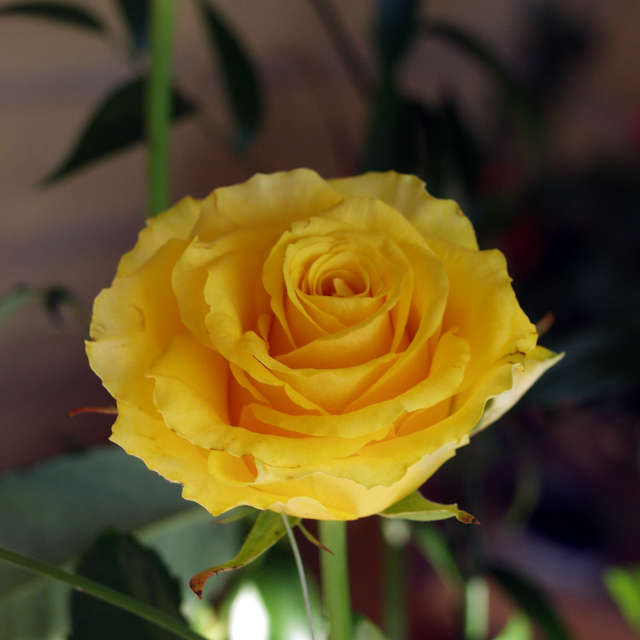 Yellow beautiful rose