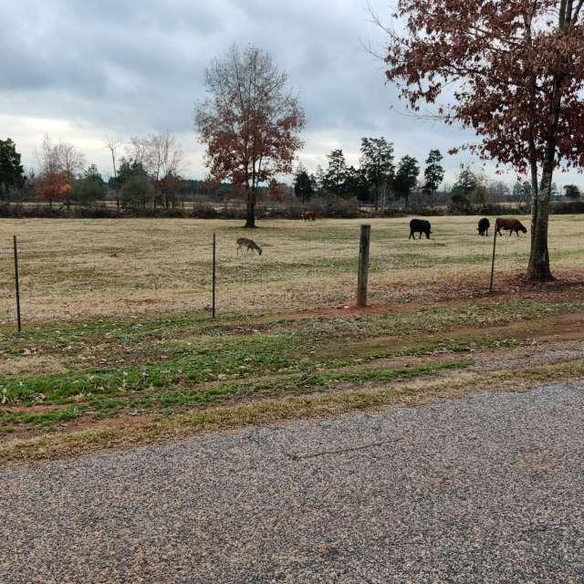 Deer grazing with cows