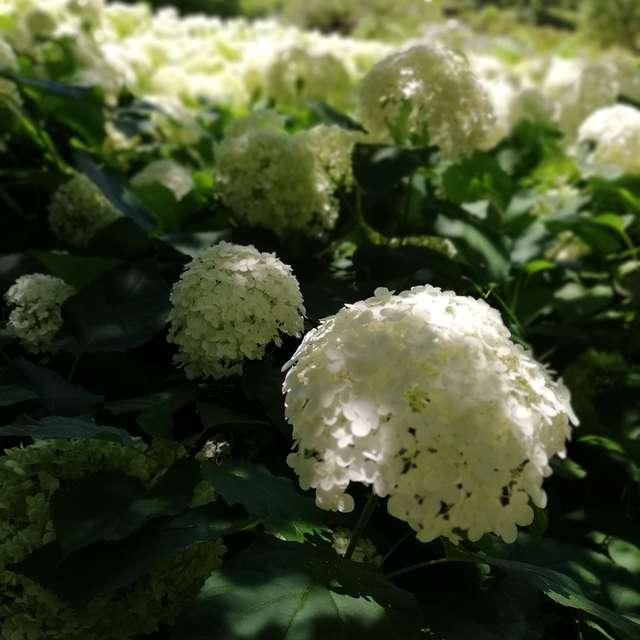 アナベル(紫陽花)