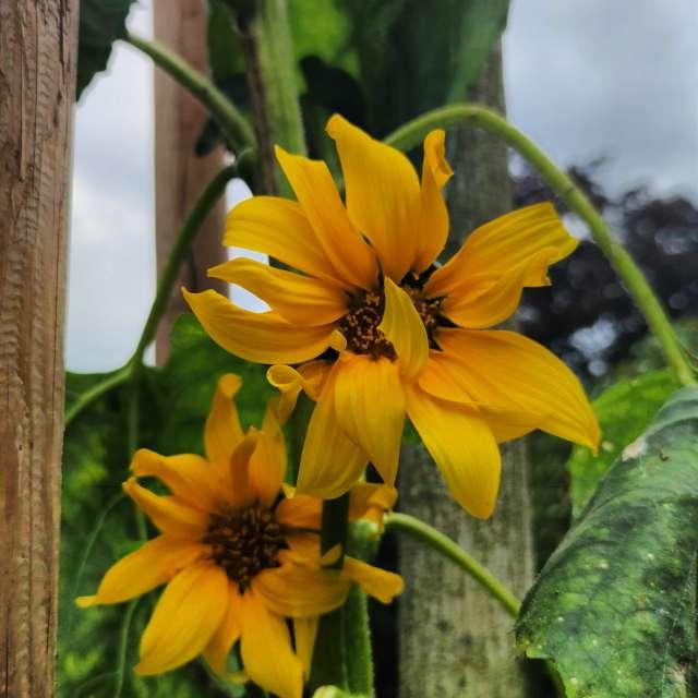 Sunflower in Germany