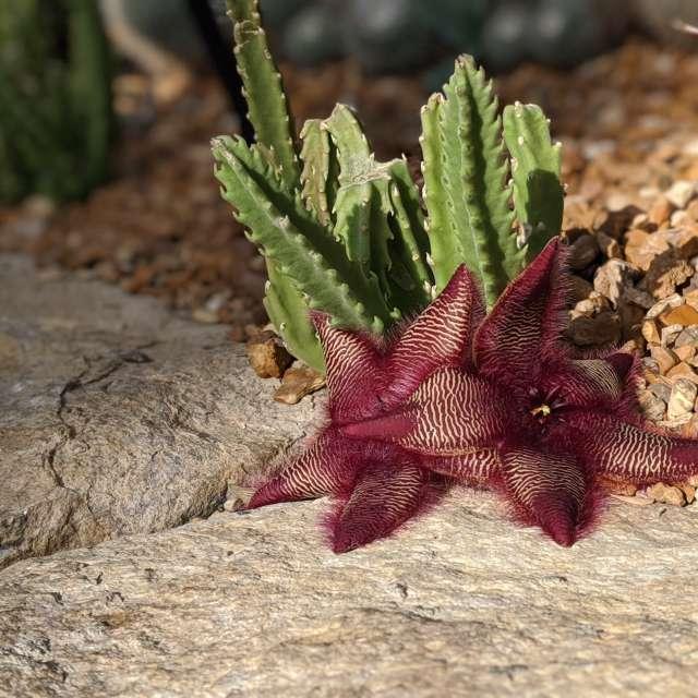 Starfish cacti