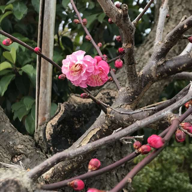 可憐な梅の花☺️
