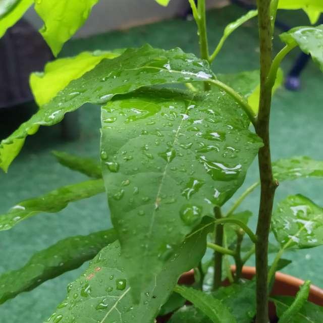 Avocat la pluie doux humide