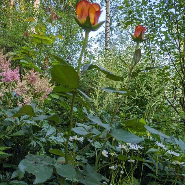 Роза красная в саду