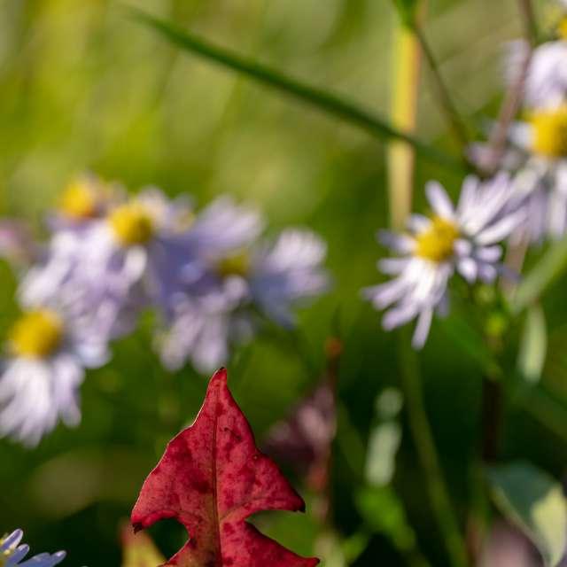 Red leaf tip