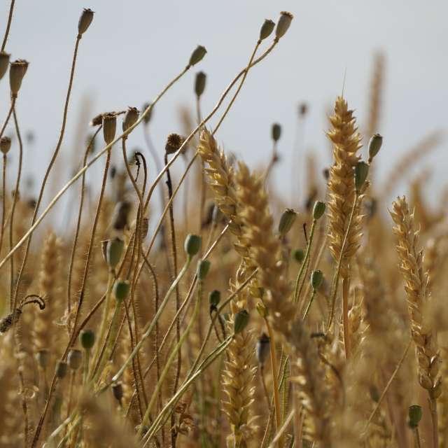 Пшеница и мак зреют на солнце
