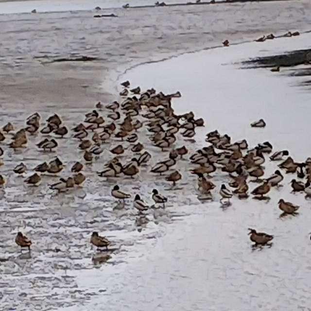鴨の浜遊び
