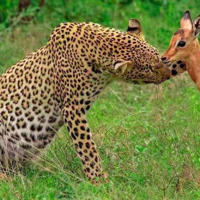 Leopard and Impalla
