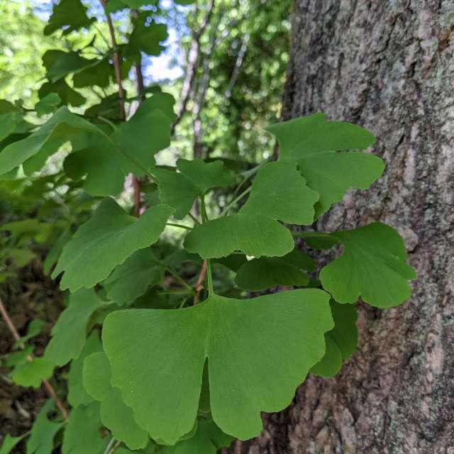 新緑のイチョウ葉もまた美しや