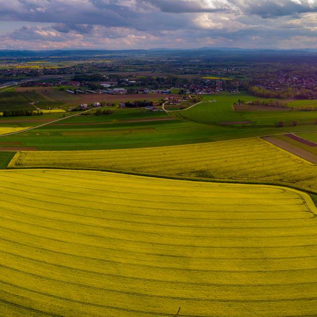 canola fields in spring