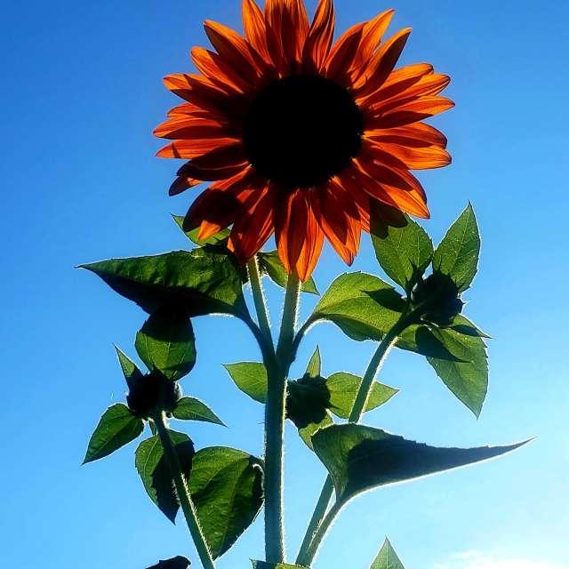 Sunflower and summer skies