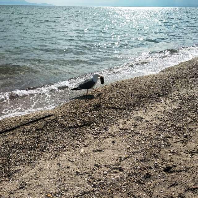 Γλάρος ψάρεψε σουπιά
