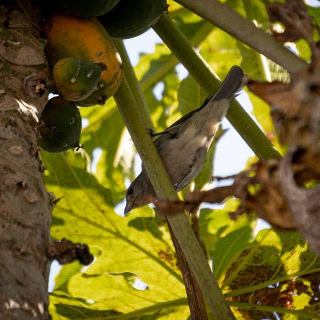 Pigeon eating papaya