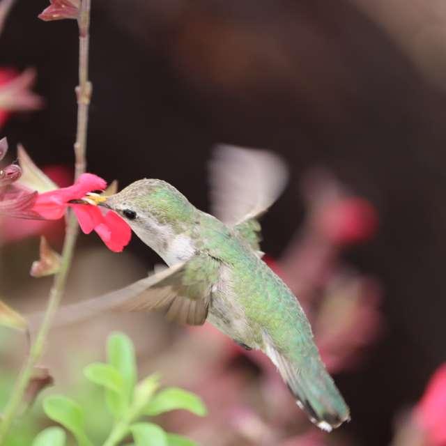 Tohono Chul hummingbird