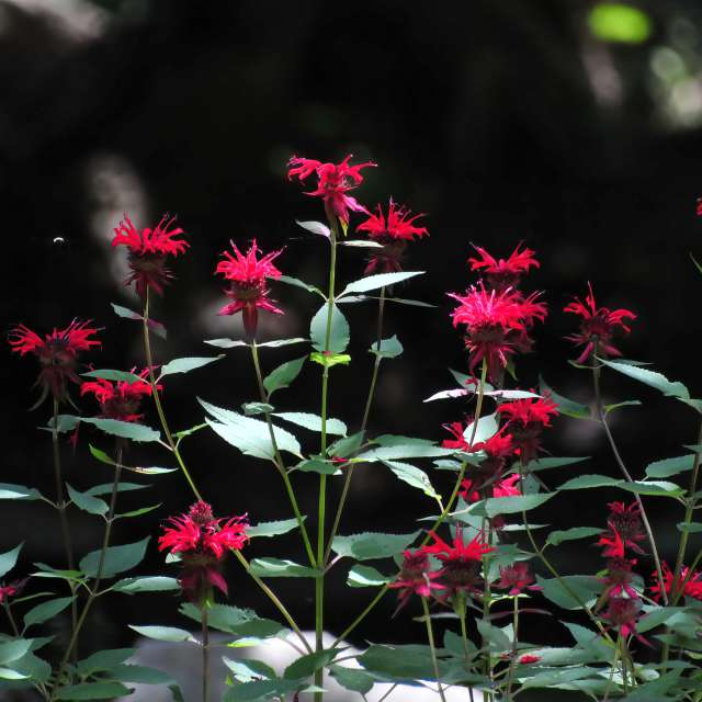 Scarlet Beebalm