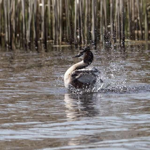splashing grebe