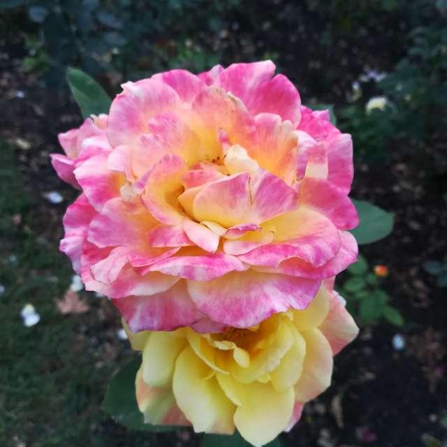 роза цветок ярко малиновый сад