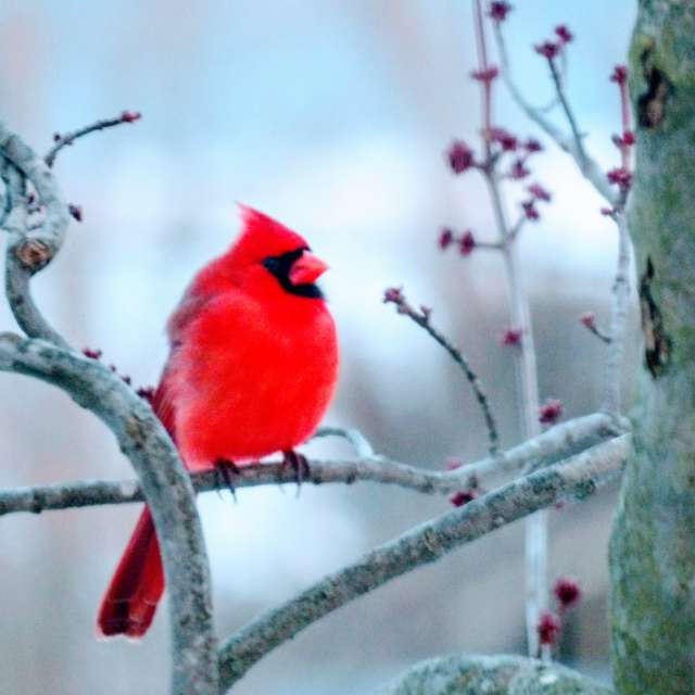 Cardinal in Frosty Branch