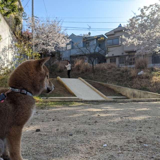 柴犬 shinainu