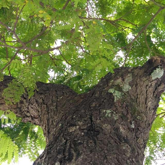 Árvore na Praça