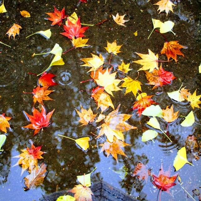 雨降りの紅葉観賞