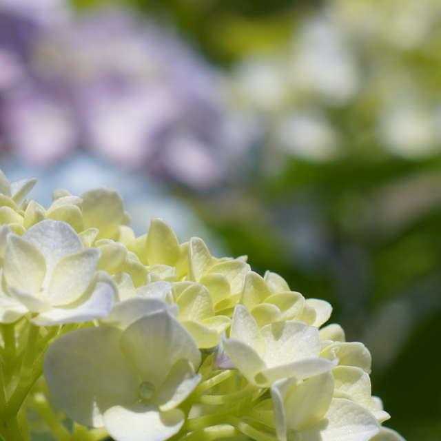 紫陽花ー眩しい