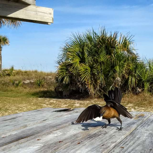 Cowbird stealing some crumbs