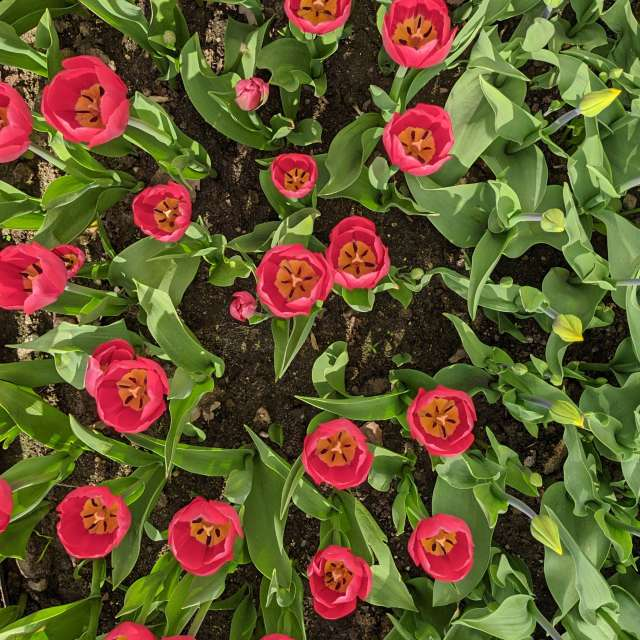 Красные тюльпаны в мае