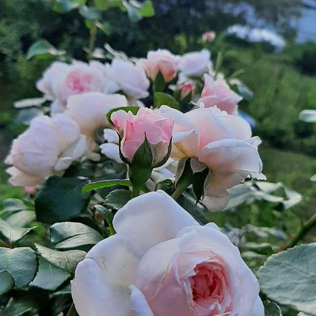 My roses Gardenlife Amazing