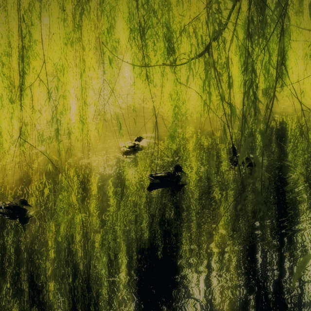 Ducks hiding under a willow.