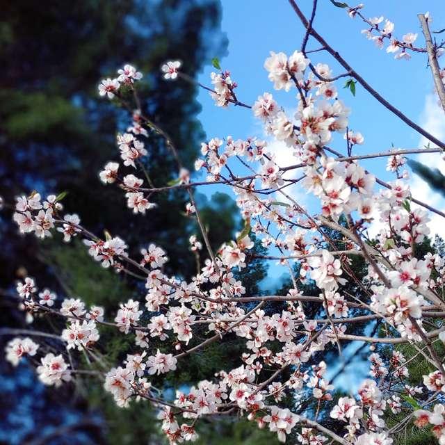 Almendro en flor- 13 grados