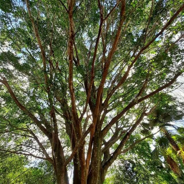 Árvore centenária