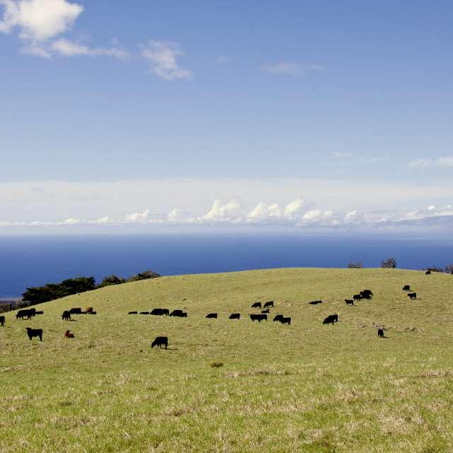 Hawaiian cows