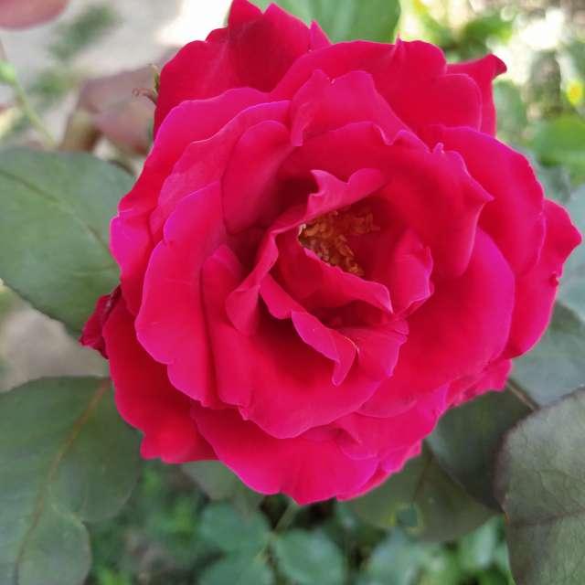 Красива Българска роза
