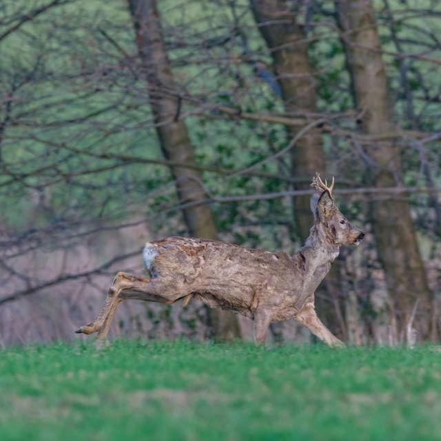 deer running in the fields