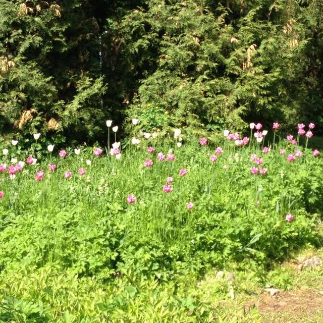 Тюльпаны на поляне
