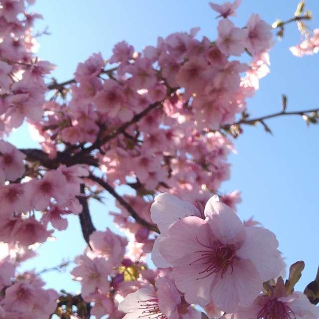 河津桜咲いたよ:)