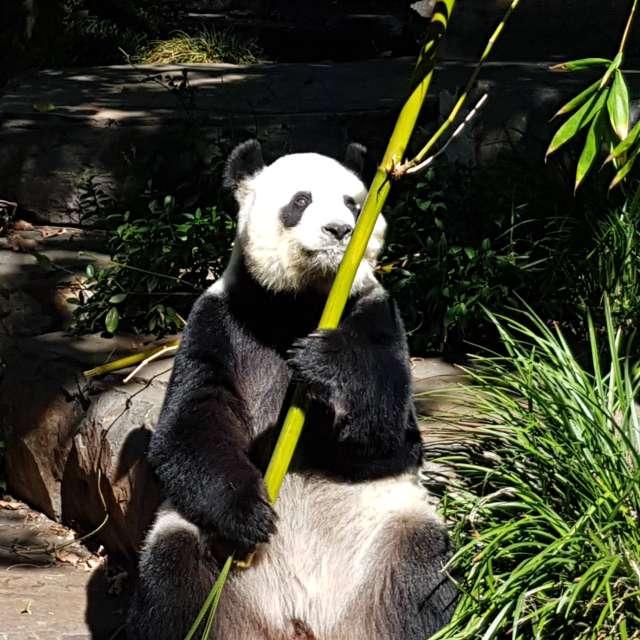 Panda 🐼 Zoo in Adelaide
