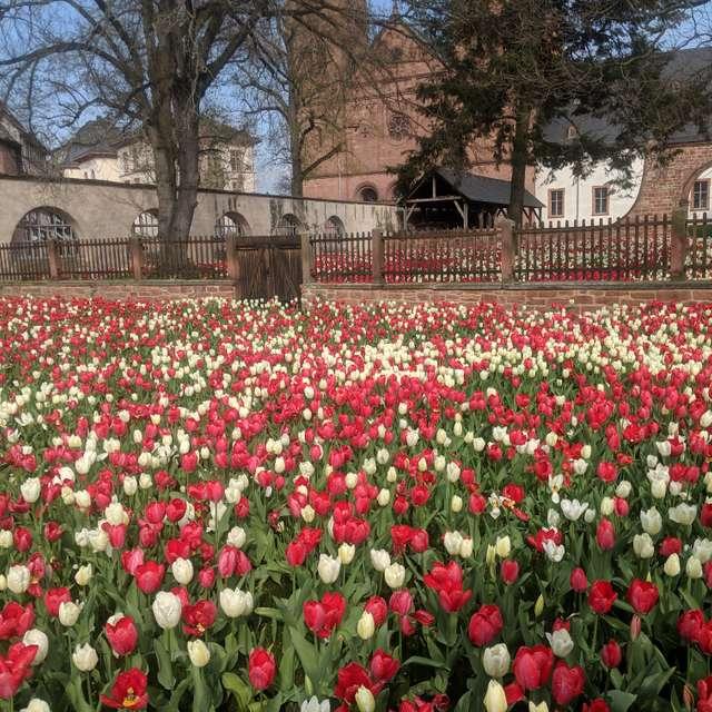 Tulpenmeer im Klostergarten