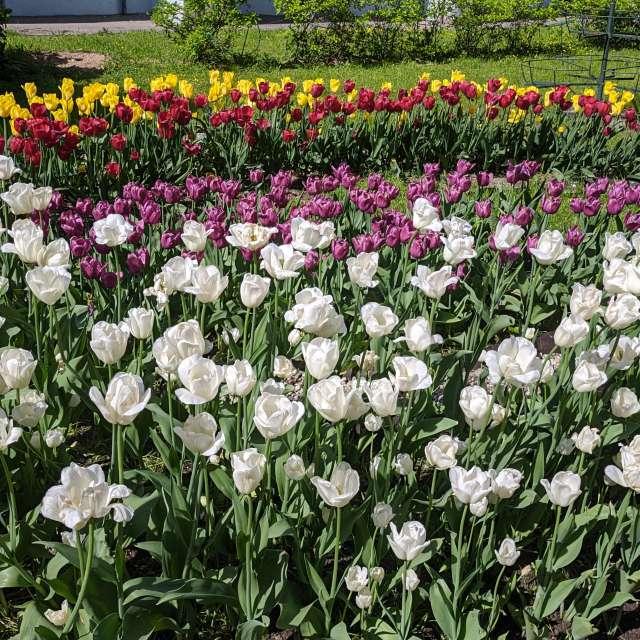Майские тюльпаны 3