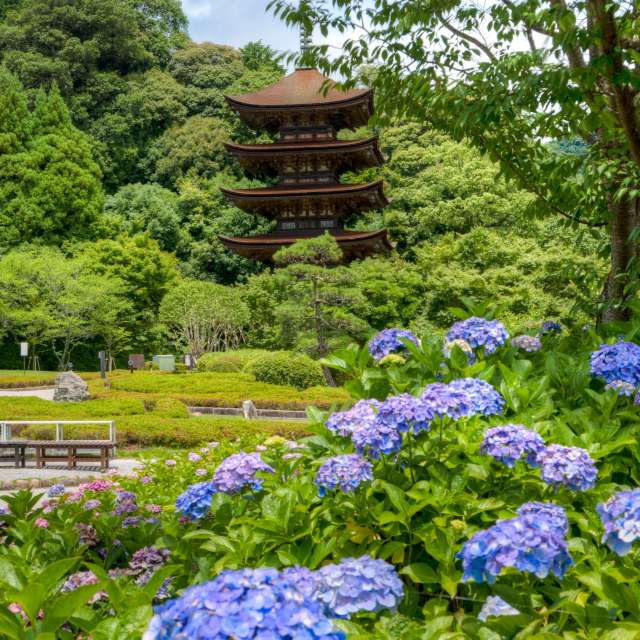 瑠璃光寺と紫陽花